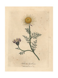 White and Yellow Spanish Camomile, Anthemis Pyrethrum Giclee Print by James Sowerby
