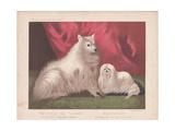 Pomeranian - Charley and Maltese Hugh Giclee Print