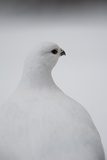 Portrait of a Willow Ptarmigan, Lagopus Lagopus Reproduction photographique par Michael S. Quinton