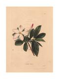 Gardenia Amoena, White Gardenia Giclee Print