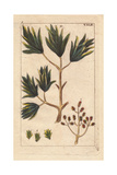 Clove Spice Tree, Caryophyllus Regius Giclee Print