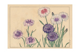Cornflower or Bluebottle, Centaurea Cyanus Giclee Print