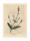 Blue Flowered Vervain, Verbena Officinalis Giclee Print by James Sowerby