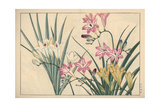 Freesia Varieties Giclee Print