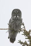 Portrait of a Great Gray Owl, Strix Nebulosa, Perched in a Tree Fotoprint van Michael S. Quinton
