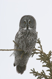 Portrait of a Great Gray Owl, Strix Nebulosa, Perched in a Tree Fotografiskt tryck av Michael S. Quinton