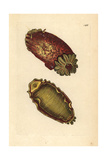 Sea Lemon or Sea Slug, Platydoris Argo Giclee Print