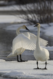 Two Trumpeter Swans, Cygnus Buccinator, Stretching and Standing on Ice in a Waterway Photographic Print by Michael S. Quinton