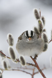 Portrait of a White-Crowned Sparrow, Zonotrichia Leucophrys, Perched in a Pussy Willow Photographic Print by Michael S. Quinton