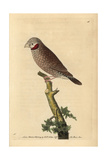 Red-Throated Grosbeak or Cut-Throat SparrowAmadina Fasciata (Loxia Jugularis) Giclee Print