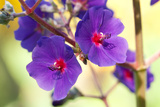 Close Up of the Flowers of the Silver-Leafed Princess Flower Plant, Tibouchina Hetermalla Photographic Print by Darlyne A. Murawski