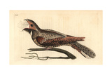 Eastern Whip-Poor-Will, Antrostomus Vociferus Giclee Print by Richard Polydore Nodder