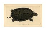 Blanding's Tortoise, Emydoidea Blandingii Giclee Print