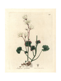 Meadow Saxifrage Giclee Print by James Sowerby