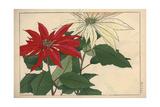 Crimson and White Poinsettia, Euphorbia Pulcherrima Giclee Print