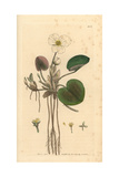 Common Frogbit, Hydrocharis Morsus-Ranae Giclee Print by James Sowerby