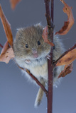 Portrait of a Northern Red-Backed Vole, Myodes Rutilus, Climbing on a Tree Branch Photographic Print by Michael S. Quinton