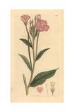 Great Hairy Willowherb, Epilobium Hirsutum Giclee Print by James Sowerby