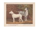 Bull Terrier and Dalmatian Giclee Print