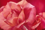 Shinning Pink Rose Art by Yvonne Poelstra-Holzaus