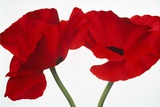Loving Poppies Prints by Yvonne Poelstra-Holzaus