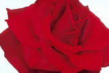 Lovely Red Rose Prints by Yvonne Poelstra-Holzaus