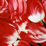 Most Beautiful Tulip III Prints by Yvonne Poelstra-Holzaus