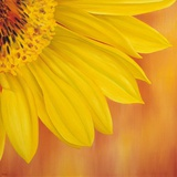 Sunflower II Prints by Yvonne Poelstra-Holzaus