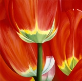 Most Beautiful Tulip I Prints by Yvonne Poelstra-Holzaus