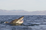 Great White Shark (Carcharodon Carcharias) Photographic Print by David Jenkins