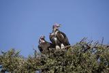 Nubian Vultures (Torgos Tracheliotus), Masai Mara National Reserve, Kenya, East Africa, Africa Photographic Print by Angelo Cavalli