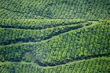Tea Gardens, Munnar, Kerala, India, Asia Fotografie-Druck von Balan Madhavan