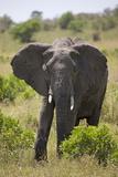 African Elephant (Loxodonta Africana), Masai Mara National Reserve, Kenya, East Africa, Africa Photographic Print by Angelo Cavalli