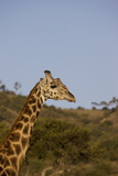 Masai Giraffe (Giraffa Camelopardalis Tippelskirchi) Photographic Print by Angelo Cavalli