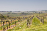 Vineyards in the Cognac Area of France, Charente Maritime, France, Europe Photographic Print by Julian Elliott