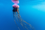 Unidentified Large Jellyfish in Brash Ice, Cierva Cove, Antarctica, Southern Ocean, Polar Regions Photographic Print by Michael Nolan