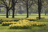Daffodils, Green Park, London, England, United Kingdom, Europe Fotodruck von Stuart Black
