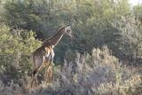 Giraffe (Giraffa Camelopardalis) Photographic Print by Kim Walker