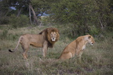 Male and Female Lions (Panthera Leo), Masai Mara National Reserve, Kenya, East Africa, Africa Photographic Print by Angelo Cavalli