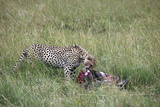 Cheetah (Acinonyx Jubatus) Eating Prey, Masai Mara National Reserve, Kenya, East Africa, Africa Photographic Print by Angelo Cavalli