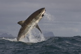 Great White Shark (Carcharodon Carcharias) Photographie par David Jenkins
