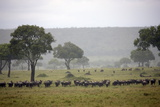Herd of Wildebeests (Connochaetes Taurinus) Migrating under the Rain Photographic Print by Angelo Cavalli