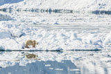 Adult Polar Bear (Ursus Maritimus) on Ice in Hornsund Photographic Print by Michael Nolan