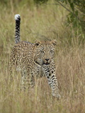 Leopard (Panthera Pardus) Walking Through Dry Grass with His Tail Up Photographic Print by James Hager