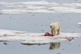 Adult Polar Bear (Ursus Maritimus) on a Seal Kill in Olgastretet Off Barentsoya Photographic Print by Michael Nolan