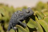 Namaqua Chameleon (Chamaeleo Namaquensis), Namibia, Africa Photographic Print by Thorsten Milse
