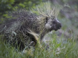 Porcupine (Erethizon Dorsatum) Photographic Print by James Hager