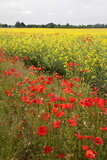 Poppies in an Oilseed Rape Field Near North Stainley Photographic Print by Mark Sunderland
