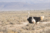 Ostrich (Struthio Camelus) Walking Through Karoo Desert, Ceres, Western Cape, South Africa, Africa Photographic Print by Kim Walker
