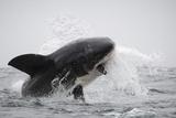 Great White Shark (Carcharodon Carcharias) Fotografisk trykk av David Jenkins